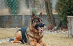 german shepherd skin allergies