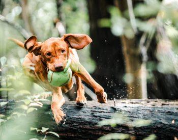 Best Chew Toys for German Shepherd Puppies